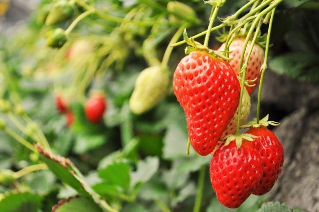 美味しいいちごを楽しむ7つの心得と浜松市内のイチゴ狩り9園  2016~2017