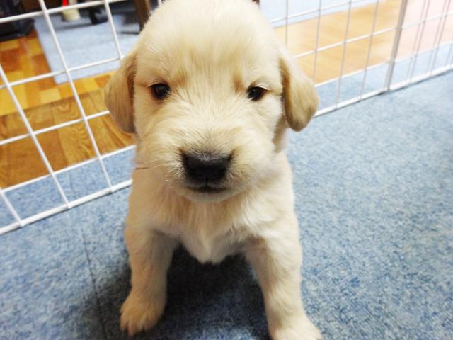 愛犬と楽しく幸せに生活する為に見逃せない3つのポイント & ゴールデンレトリバー里親募集