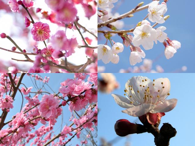 梅・桜・桃・杏、花の見分け方