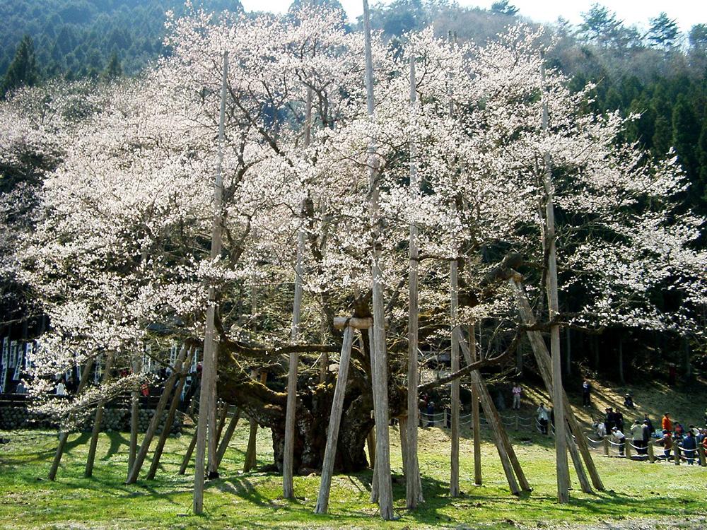 Usuzumizakura