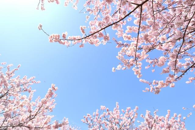 樹齢がハンパない日本三大桜と浜松のお花見名所7選