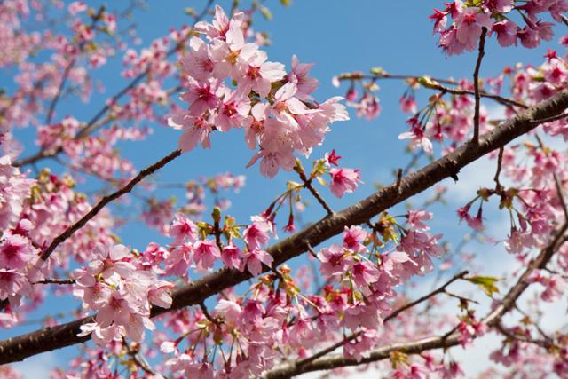 日本の春は浜名湖から!『浜名湖 花フェスタ2017』が始まります!