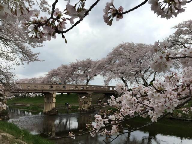 【全国さくら名所100選めぐり】岐阜各務原の新境川堤の桜と沖縄を堪能する旅