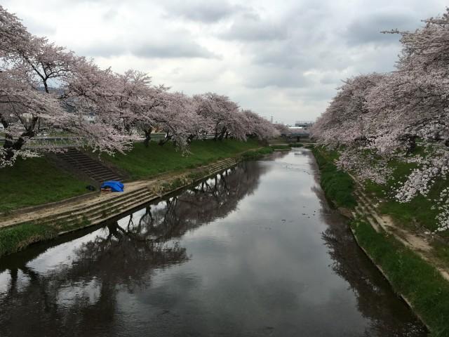 境川堤の百十郎桜