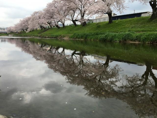 日本さくら100選でお花見