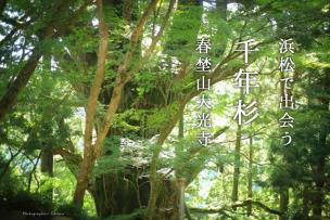 春埜山大光寺の千年杉