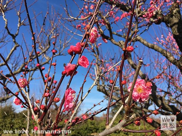 【梅花見】一足早く春を感じる浜松近郊の梅見スポット8選