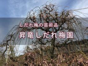 舘山寺・昇竜しだれ桜