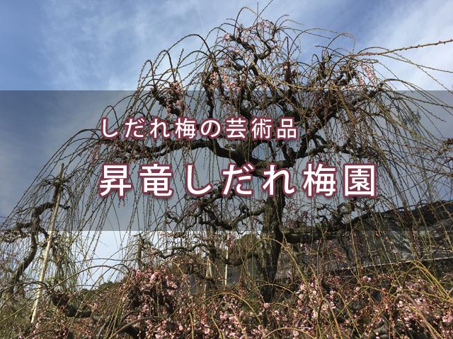絶景の穴場!舘山寺の「昇竜しだれ梅園」