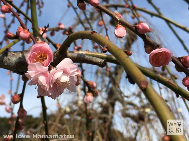 梅の香りが漂う昇竜しだれ梅園