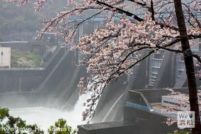 秋葉ダム千本桜の開花状況