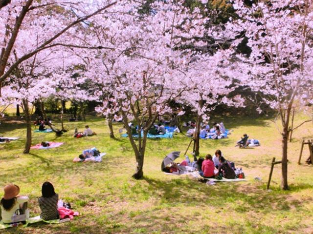 花見といえば桜!浜松のお花見名所9選と日本三大桜 2017年版