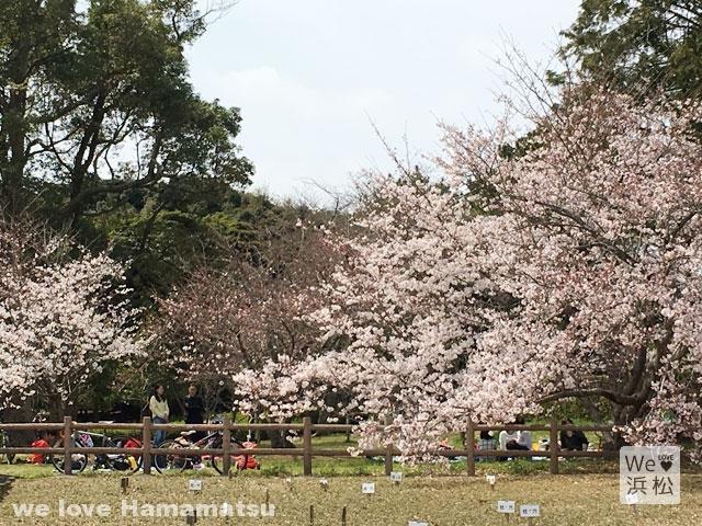 蜆塚公園のさくら
