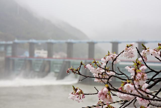 船明ダム運動公園の桜のトンネル