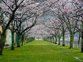 船明ダム運動公園の桜開花状況