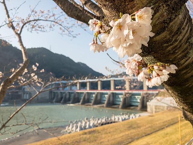 船明ダム桜のトンネル 桜開花状況