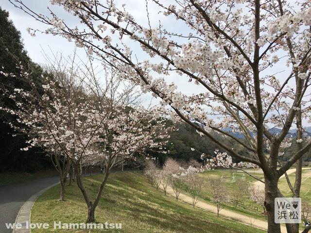 【浜松のさくら名所】都田公園の桜開花状況2017