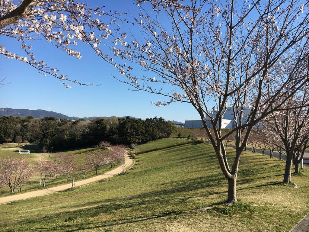 都田公園の桜(浜松市の桜開花状況)