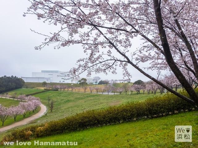 都田公園の桜開花状況