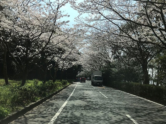 佐鳴湖公園の桜のトンネル