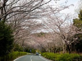 佐鳴湖公園の桜開花状況