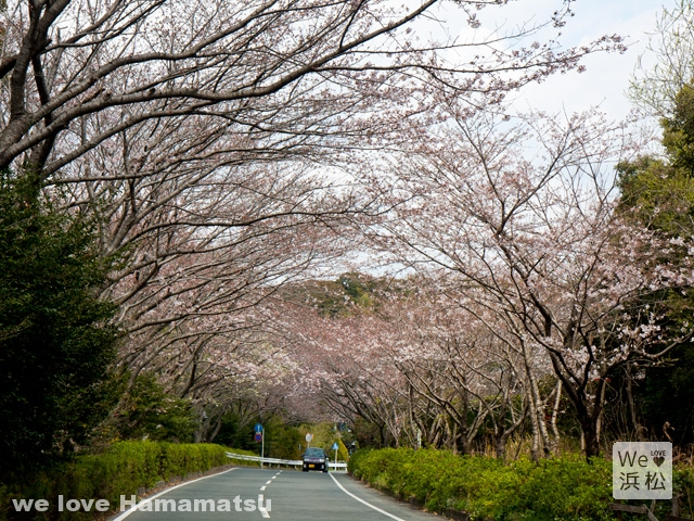 【浜松のさくら名所】佐鳴湖公園の桜開花状況2017
