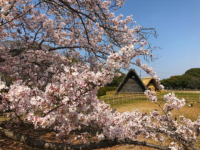 蜆塚遺跡の桜
