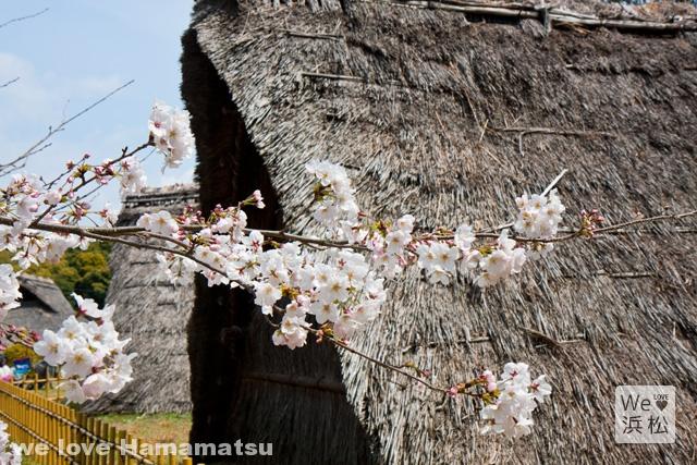 蜆塚公園の桜開花状況