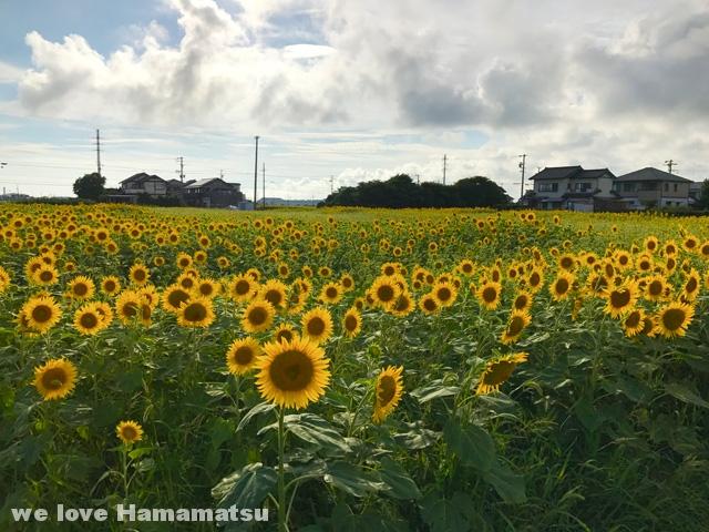 浜松市南区のひまわり畑