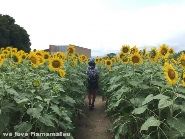 浜名湖ガーデンパークひまわり畑