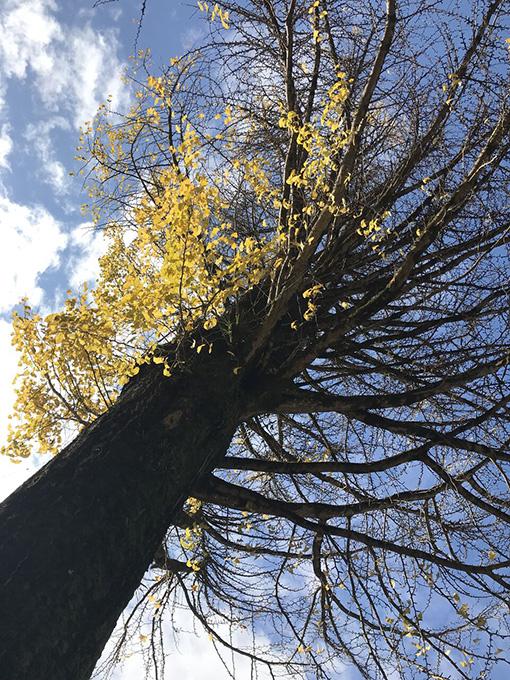 香嵐渓いちょうの大木
