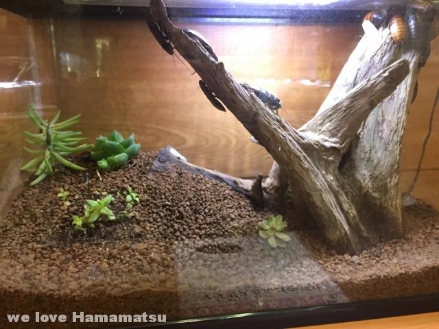 竜洋昆虫自然観察公園 マダガスカルゴキブリ