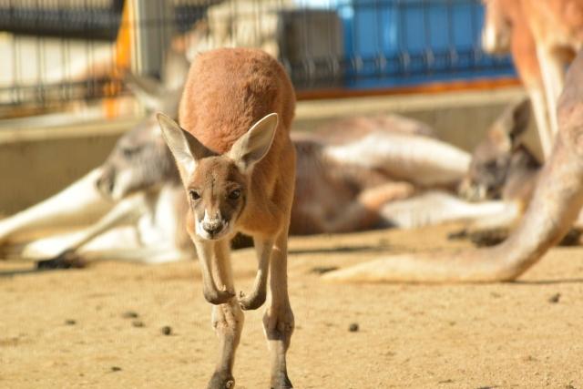 動物園 カンガルー