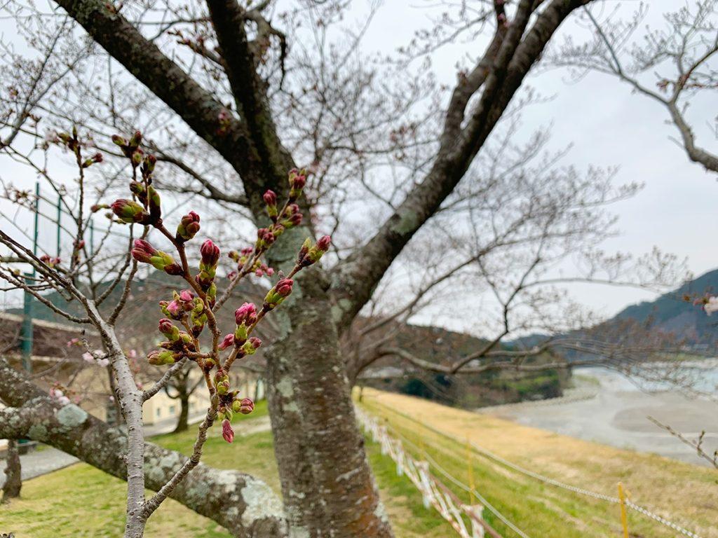 船明ダム 桜のトンネル(浜松市の桜の開花予想)