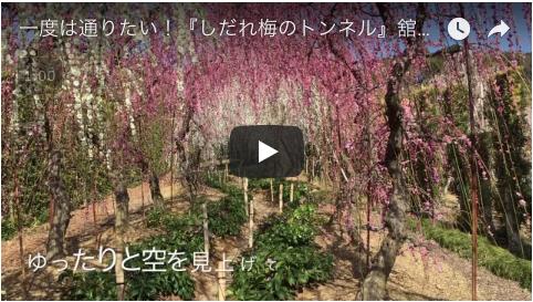 Htube:welove浜松動画集:昇竜枝垂れ桜