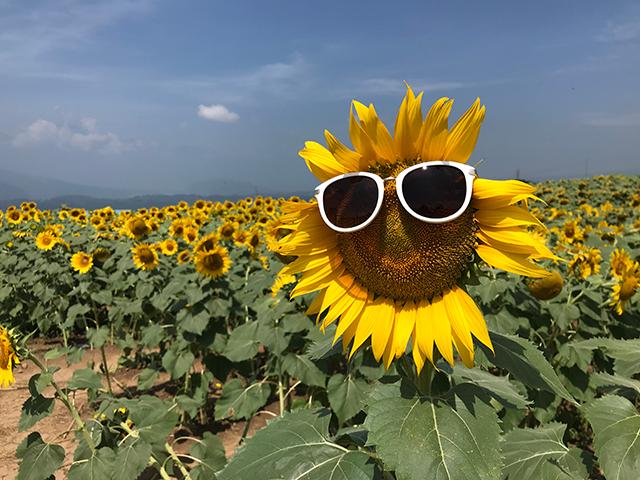 北杜市明野のひまわり畑にいってみた!