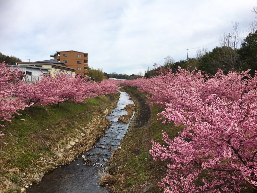 東大山河津桜開花状況