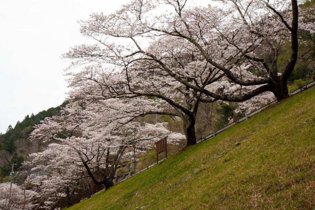 秋葉ダム千本桜:さくら開花状況