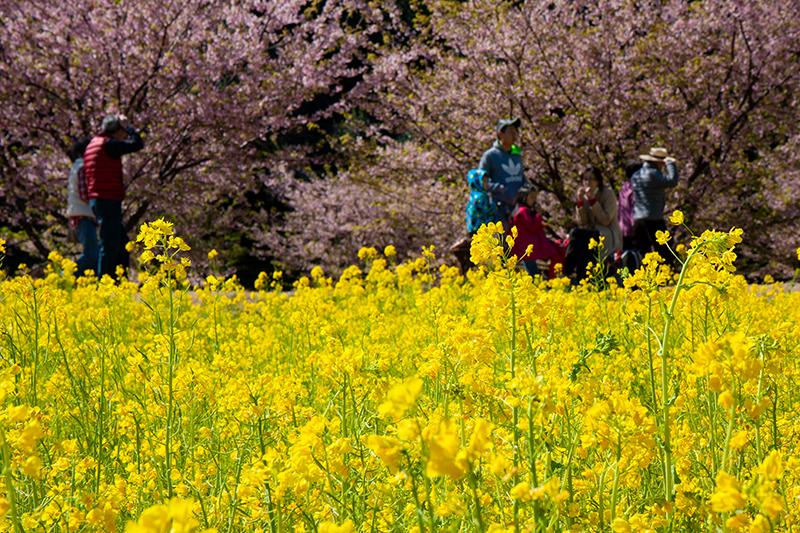 菜の花と河津桜のコラボ