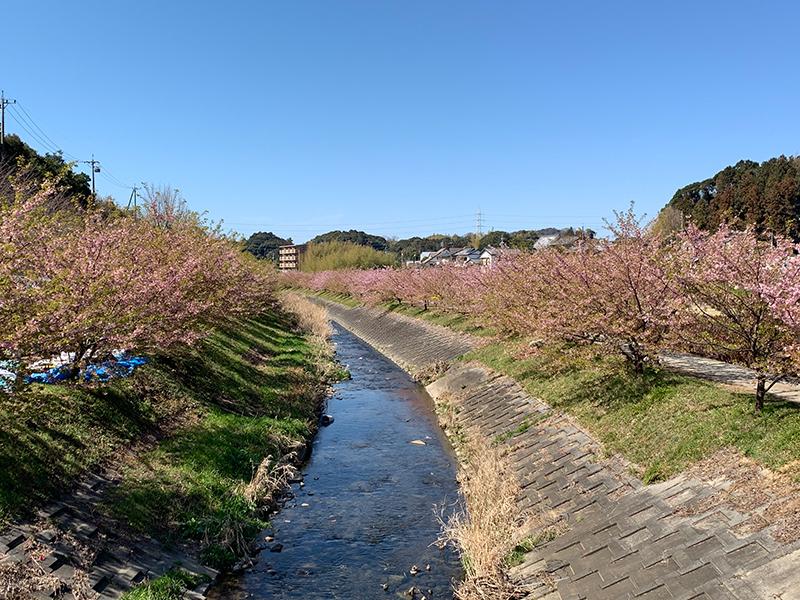東大山河津さくら:川ぞいに400本の河津桜