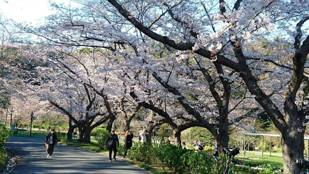 浜名湖フラワーパークの桜(浜松市の桜開花情報)