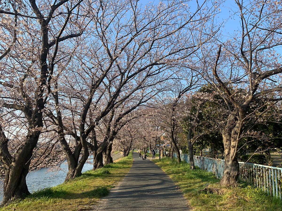 馬込川沿いの桜並木(浜松のさくら開花状況)