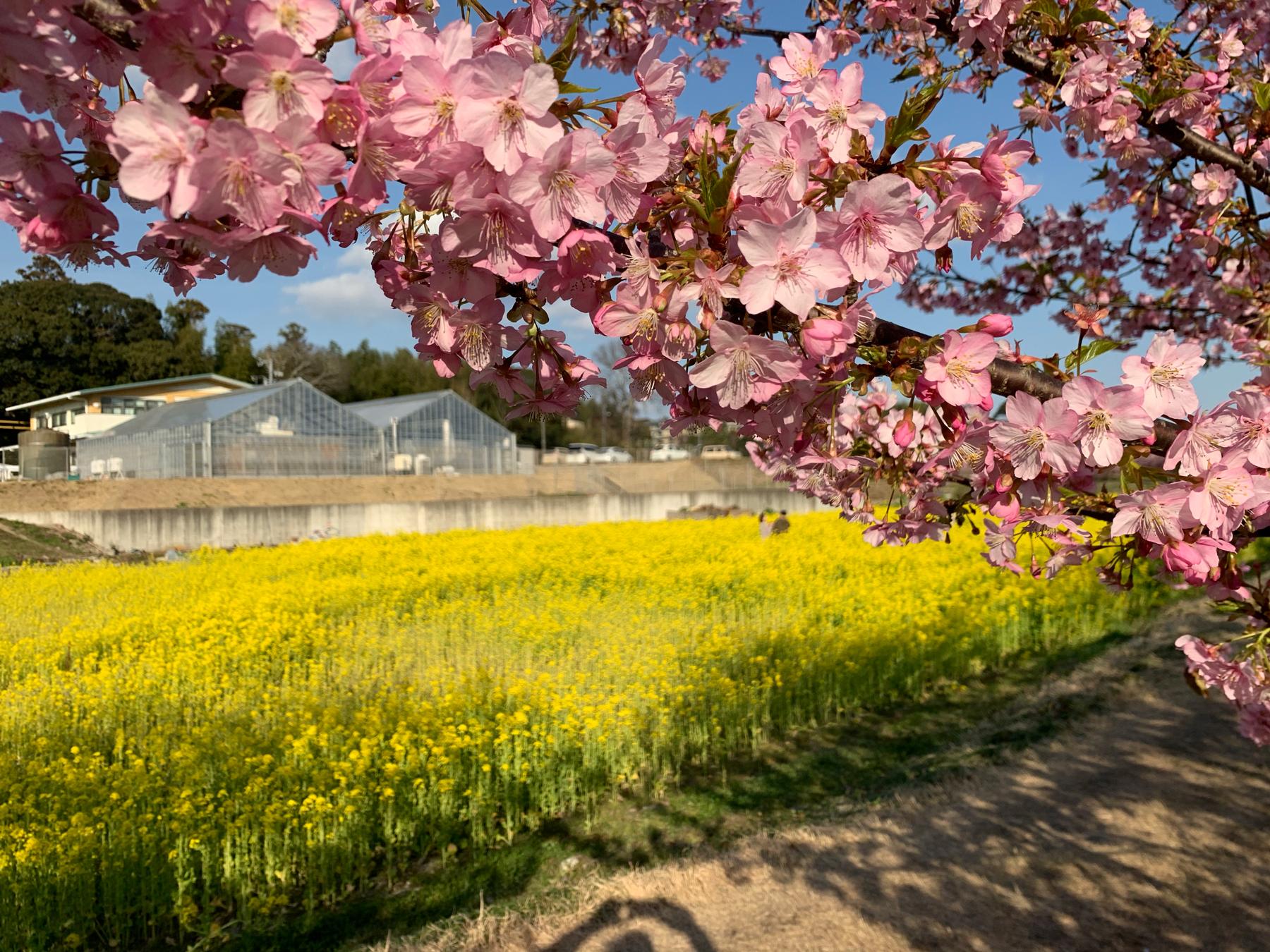 東大山の河津桜並木開花状況