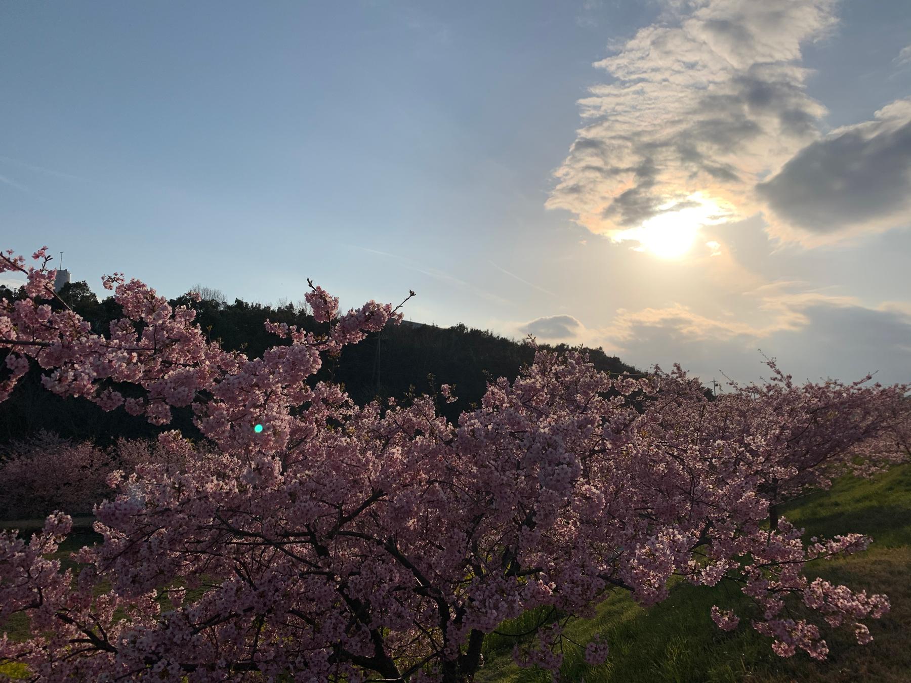 東大山の河津桜並木開花状況:夕暮れ