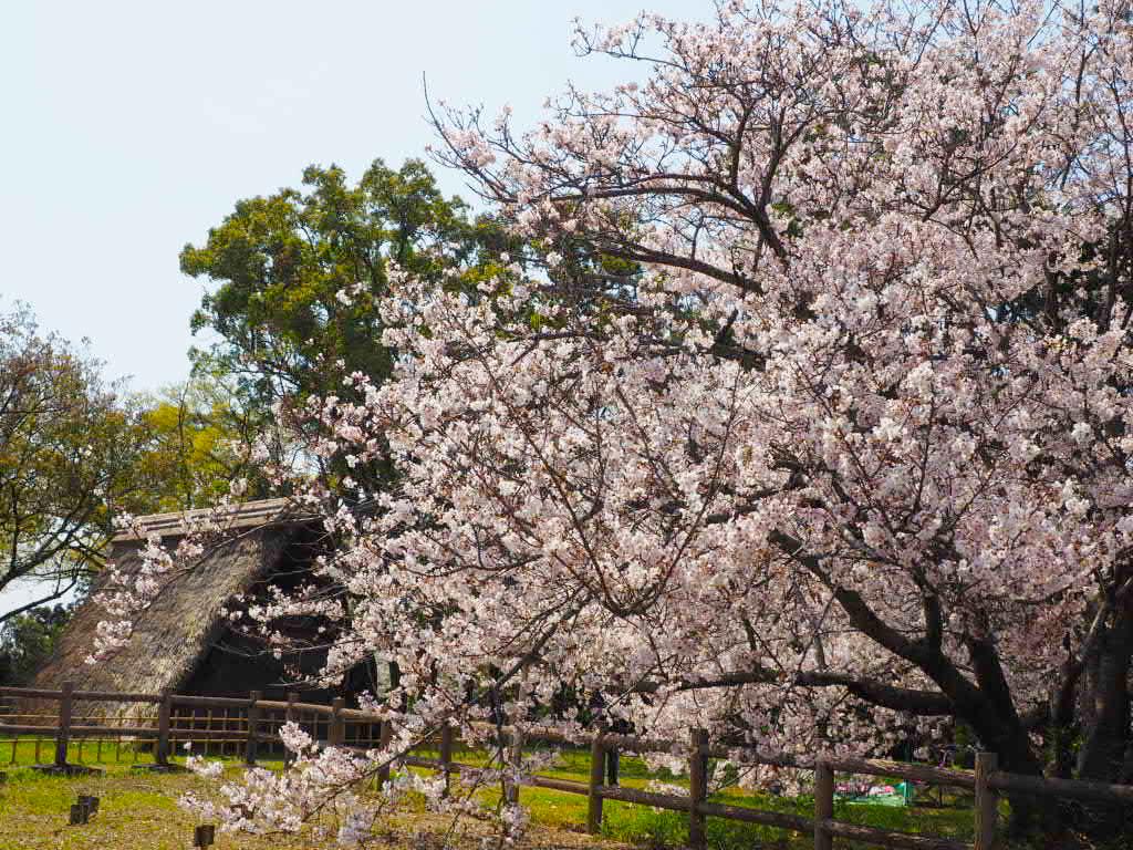 蜆塚公園の桜