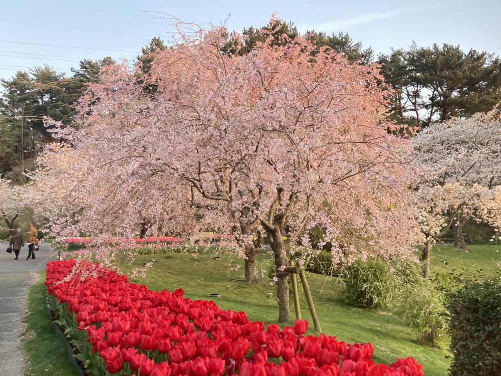 はままつフラワーパーク:枝垂れ桜