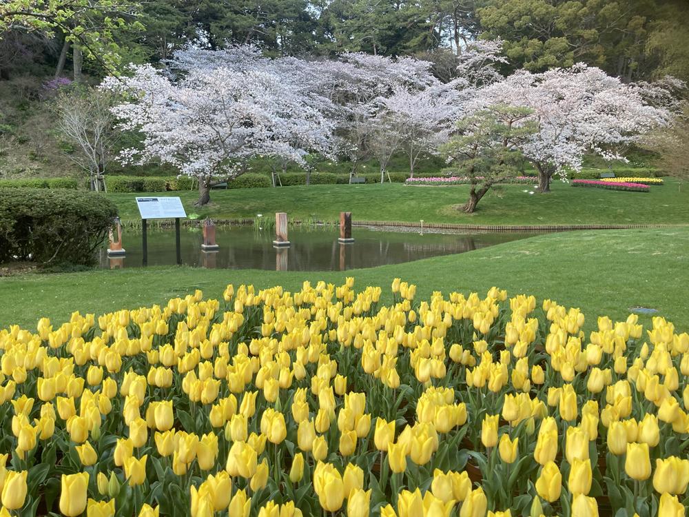 はままつフラワーパーク:桜とチューリップ
