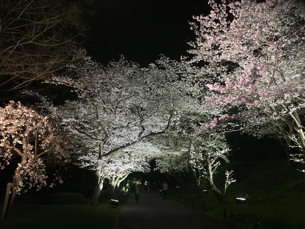 はままつフラワーパーク:桜