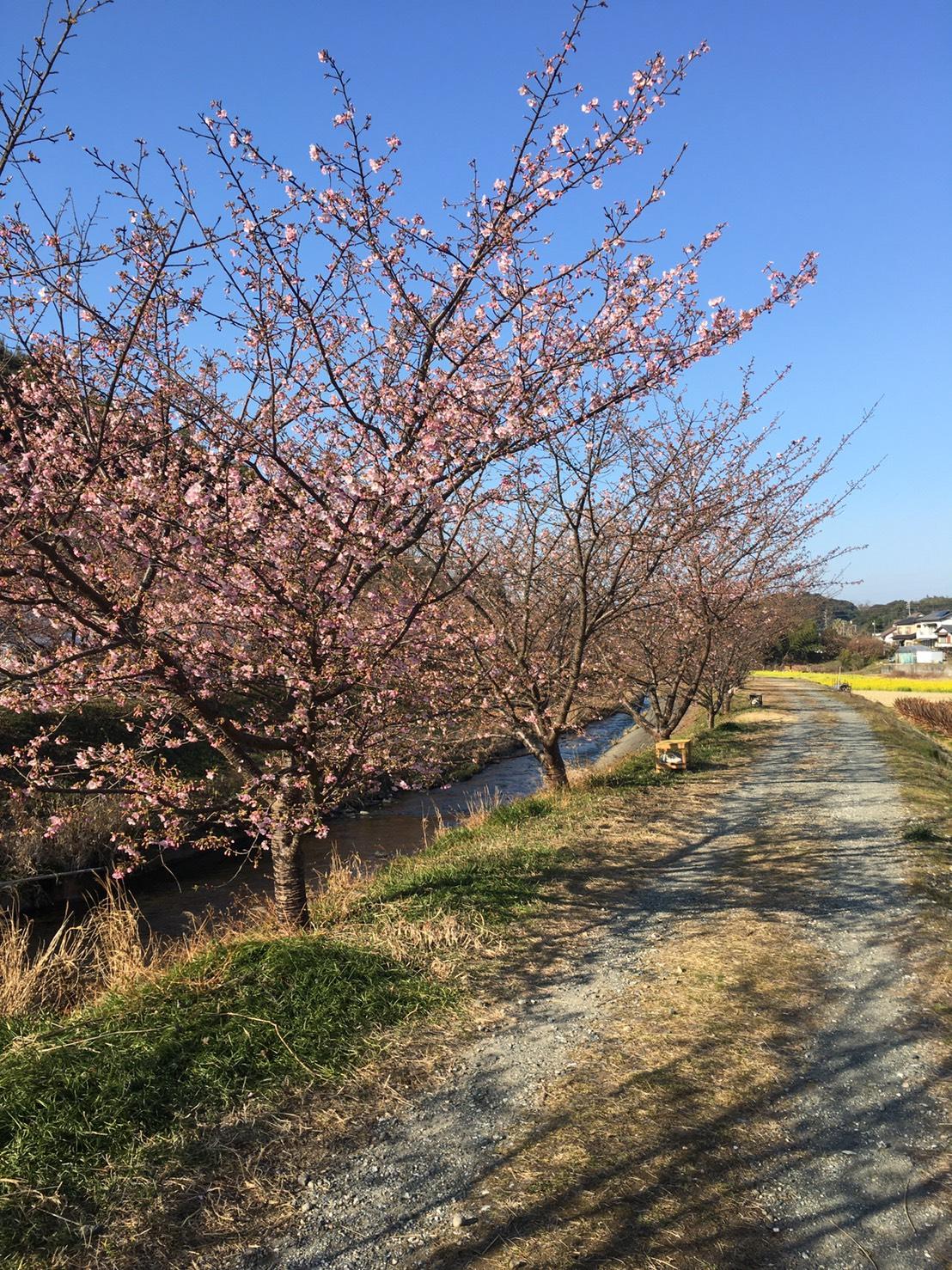 2021年2月20日の河津桜開花状況