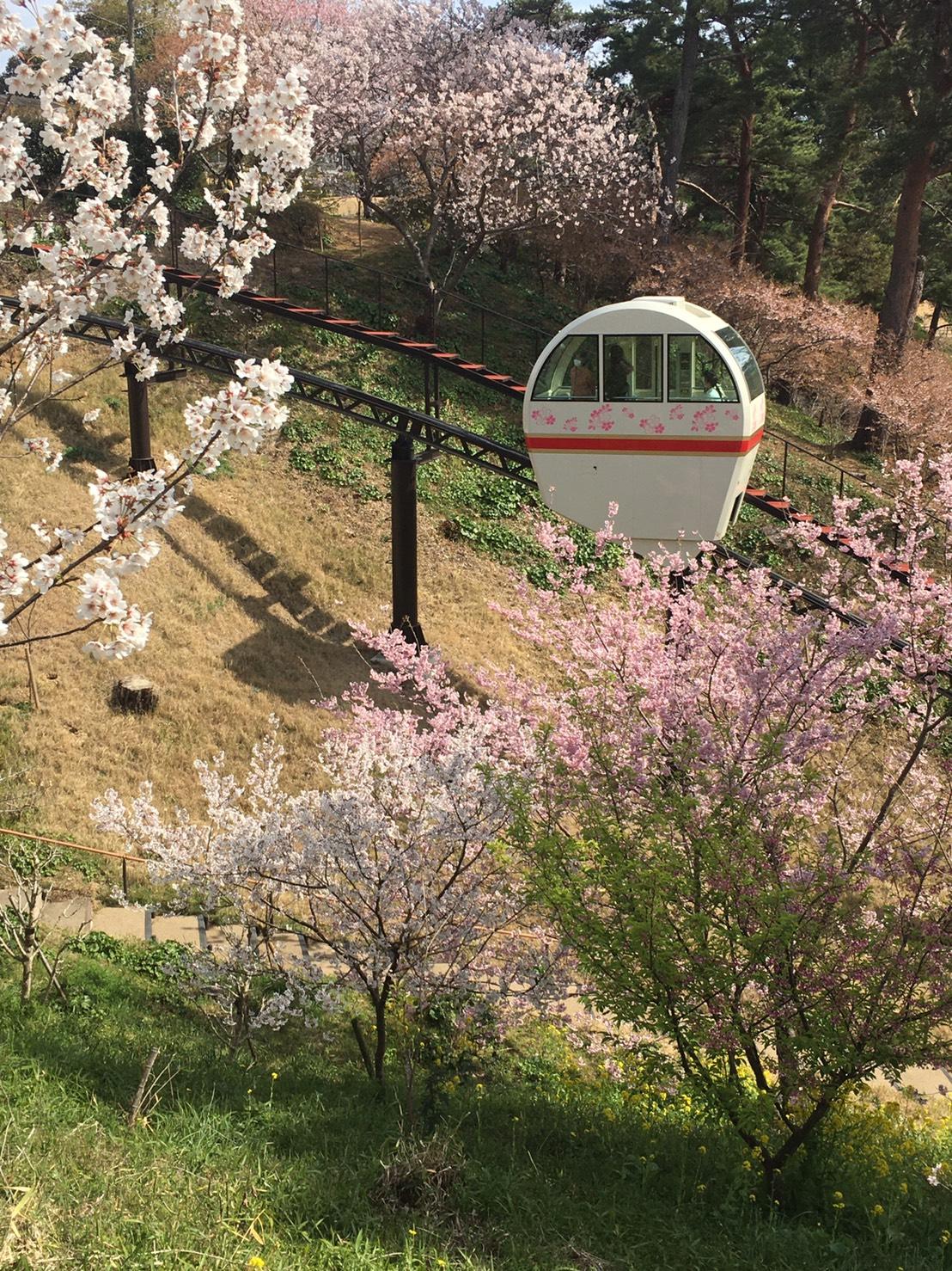 フラワーパークで大漁桜が満開
